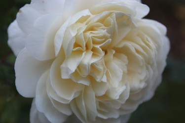 The Crocus Rose blommar lika vackert nu i November som i Juni // Foto: Anna Theorin