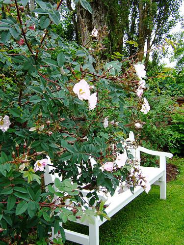 En nästan vit ros med en vit bänk. Foto: Sylvia Svensson