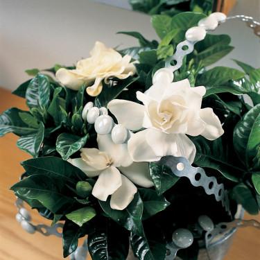 _Gardenia jasminoides_.
