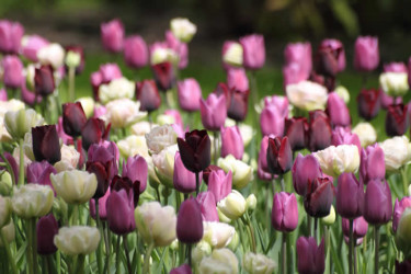 I [Odla.nuShop](http://erbjudande.odla.nu/hl/?p=1) kan du köpa en härlig tulpanmix som heter Inspirations 'White, Purple & Lilac'. Foto: [Odla.nuShop](http://erbjudande.odla.nu/hl/?p=1)