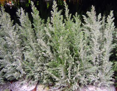 """Minicypress, _Chamaecyparis lawsoniana_ 'Ellwoodii' med """"snö"""" och glitter. Foto: Sylvia Svensson"""