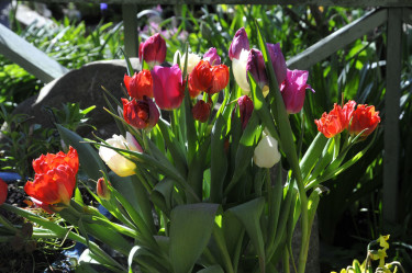Tulpaner från Åkraberg planterade i utekruka. Foto och arr: Sylvia Svensson