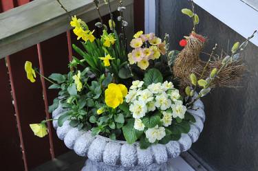 Primula vulgaris 'Ballerina Buttercup' och andra växter i en påskurna. Foto: Sylvia Svensson