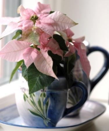 Ljusrosa Princettia i kopp.  Foto: Blomsterfrämjandet