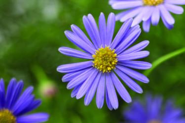 Blåkrage blommar mycket och länge!  Foto: Blomsterfrämjandet/Syngenta