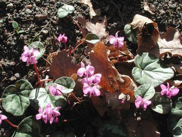 Dvärgcyklamen, _Cyclamen coum ssp. caucasicum_. Foto: Sylvia Svensson