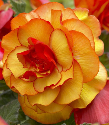 Begonia x tuberhybrida 'Harlequin' Foto: Mr. Fothergill's