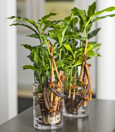Kardemumma, _Elettaria cardamomum_, är en fin grön inomhusväxt  - gnugga på bladen för att få fram doften!.