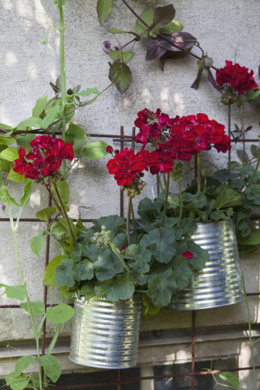 Pelargon 'Velvet Red' på väggen. Foto: Blomsterfrämjandet/Annika Christensen