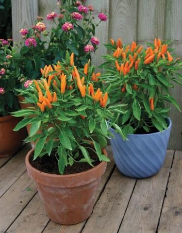 Chili 'Orange Wonder'. Foto: Mr. Fothergill's