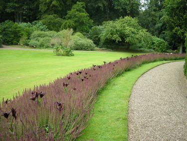 Häftig plantering med _Lilium 'Dimention'_ med stäppsalvia i Egenskov, Danmark.Foto: Sylvia Svensson