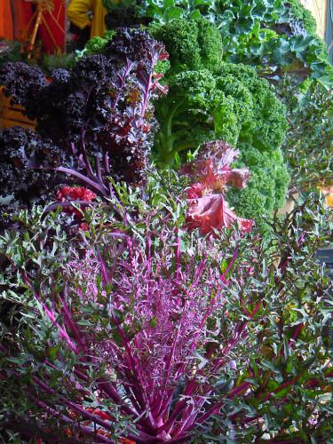 Färgglada kålsorter. Foto: Sylvia Svensson