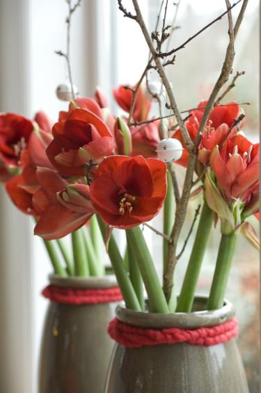 Röda amaryllis i fönsterFoto: Blomsterfrämjandet