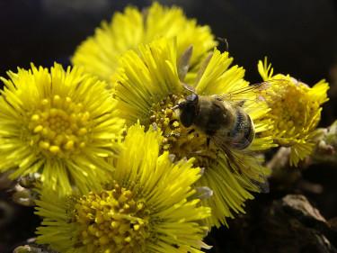 Biet fikar i tussilagon! Foto: Bernt Svensson