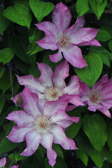 Klematis 'Rooran' blommar tidigt, i maj/juni- juli och ibland även i september. Blommar med enkla, 10-15 cm vida, blommor i rosa nyanser med vita skiftningar. Blir ca 2-2,5 m hög och är härdig i zon 1-5.