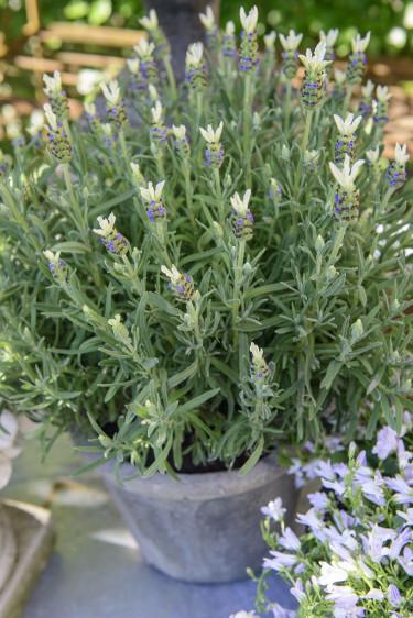 Lavendel är fantastisk som krukväxt. Foto: Floradania