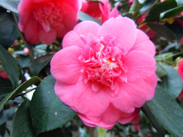 _Camellia japonica_ 'Elegans' Foto: Bernt Svensson