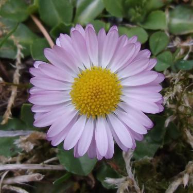 Tusensköna, denna blyga och söta blomma!