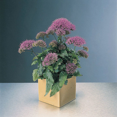 _Trachelium caeruleum_