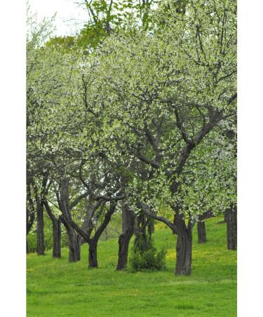 Gamla, fina plommonträd som fått god skötsel och beskärning genom åren. Foto: Lars Forslin