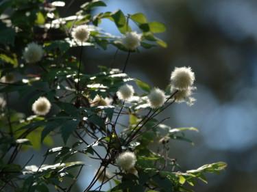 Efter blomning utvecklas fröställningar i form av ludna bollar som är mycket dekorativa.