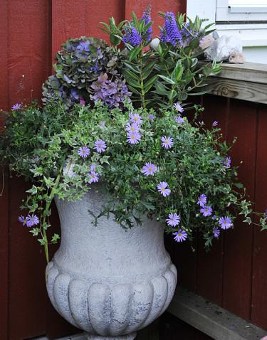 Buskveronika _Hebe x andersonii_, hortensia, murgröna och blåkrage. Foto: Bernt Svensson, arr: Sylvia Svensson