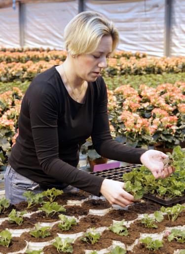Plantering av pelargonsticklingar Foto: Blomsterfrämjandet