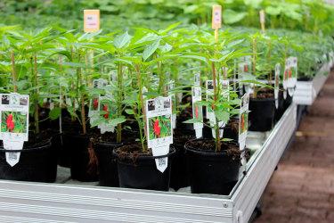 Chili på rader i vårt ena växthus // Foto: Anna Theorin