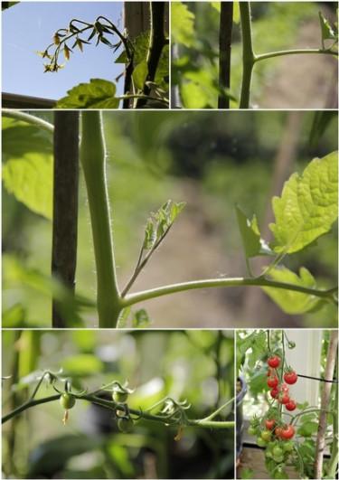 Alla högväxande tomater ska tjuvas.