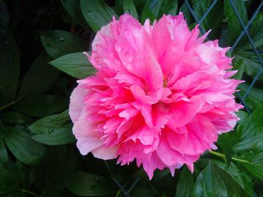 Dubbel rosa bondpion, _Paeonia x festiva 'Rosea Plena'_. Foto: Sylvia Svensson
