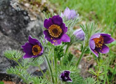 Naturträdgård kan skapas i olika naturtyper. Härma naturen vid val av växter så kommer den naturliga känslan av sig själv. Backsippa, _Pulsatilla vulgaris_, trivs i torrmarker.