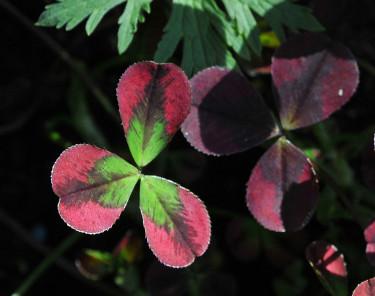 _Trifolium repens_ 'Purpurascens' i för mörk placering så blir bladen grönare. Foto: Sylvia Svensson