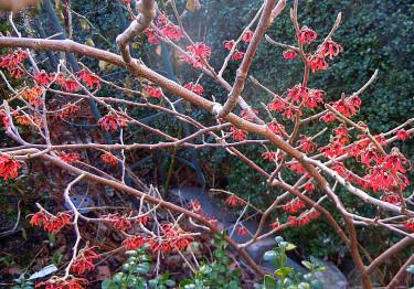 Trollhasseln 'Diane' lyser i min trädgård! Foto: Sylvia Svensson