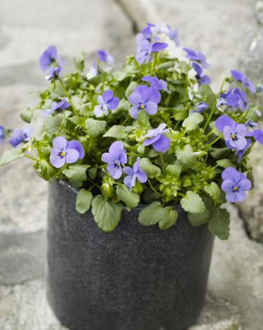 Hornviol, _Viola cornuta_ har mindre men desto fler blommor! Foto: Floradania