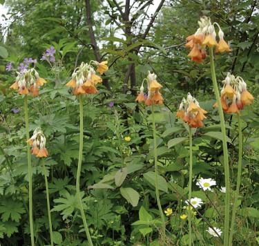 **4. Sommarviva**, _Primula florinde_ ´Rubra´, det här är bara en enda planta!