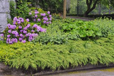 Kryptujan är en effektiv mattbildare, bland buskar och perenner.