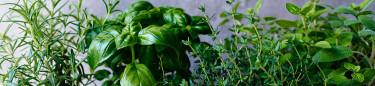 Kryddplantor