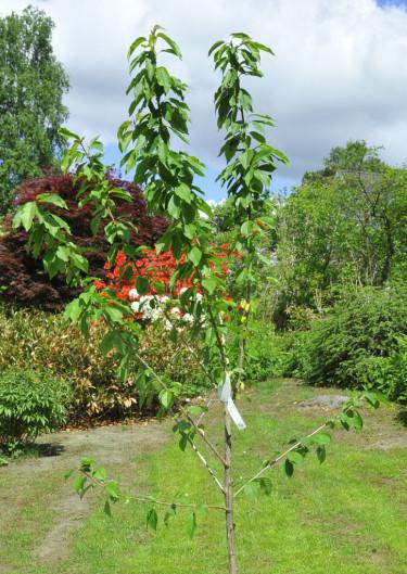Ett oklippt, ungt fruktträd.Foto: Bernt Svensson