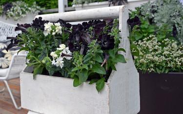 En gammal verktygslåda blir trendriktig behållare till svart petunia 'Velvet' och vit trädgårdsverbena. Foto: Mäster Grön