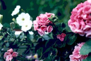 Pelargonen, en ros bland favoritblommorna.