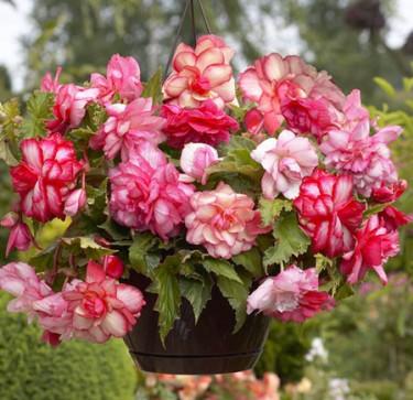 Begonia x tuberhybrida 'Pink Balcony' Foto: Mr. Fothergill's
