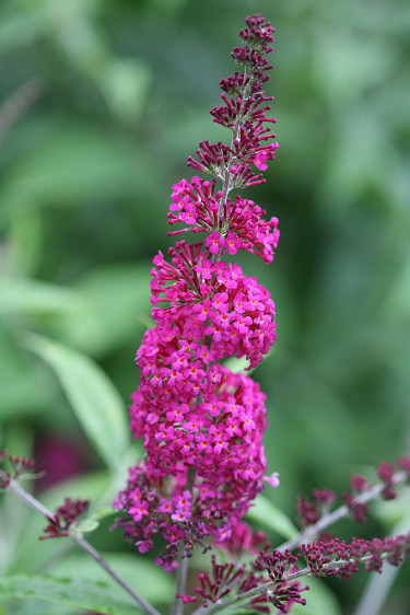 Buddleja 'Miss Ruby' i vacker rödrosa variant. Foto: Pepinieres Minier/Splendour Plant