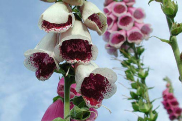 _Digitalis_ 'Giant Spotted'.