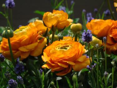 Lavendel och ranunkler i en hyllning till sommaren! Foto: Katarina Kihlberg