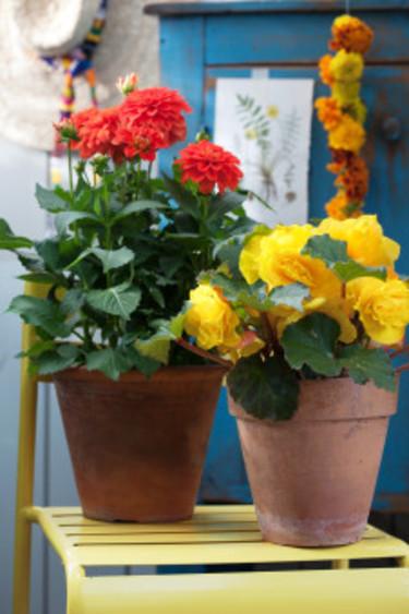 Färgstarka krukväxter i kombination. Foto: Blomsterfrämjandet/Anna Skoog