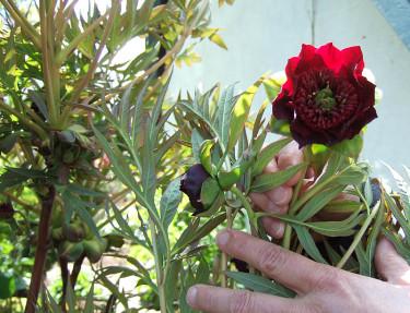 Dubbel röd småbuskpion, P. delavayi, av den rödblommiga gruppen, blomma Foto: Sylvia Svensson