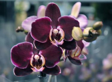 _Phalaenopsis_ 'Elegant Debora'