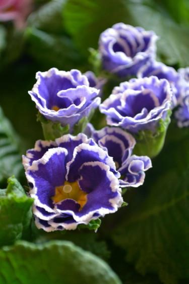 Primula Sirococco' Foto: Blomsterfrämjandet