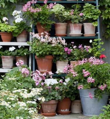 Blommande pelargoner är sommar! Rikedomen i doft, färg och form är stor.  Här kommer årets tio i topp lista för pelargoner! Foto: Blomsterfrämjandet