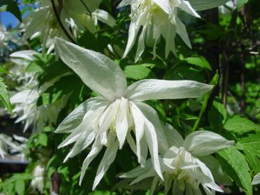 'Albina Plena' är en korsning mellan sibirisk klematis och japansk klematis. Mycket odlingsvärd tack vare av sin rika, vackra blomning och den sällsynt goda egenskapen att remontera.